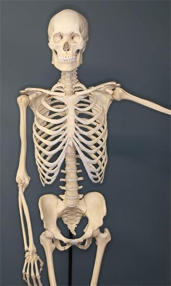 Das menschliche Skelett - Basiswissen